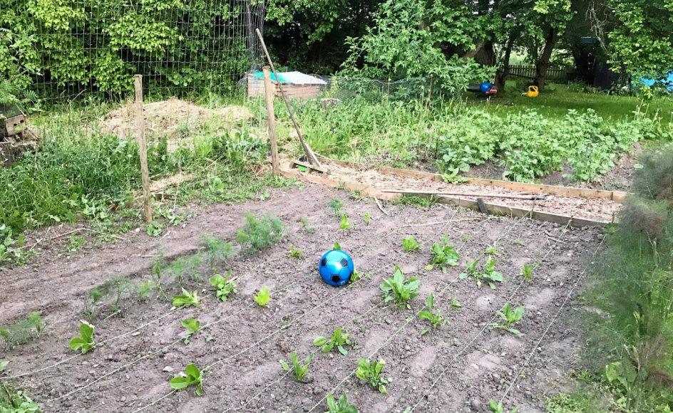 Spinaten er sparket til hjørne. Der er i hvert fald vel meget afstand mellem de grønne planter.